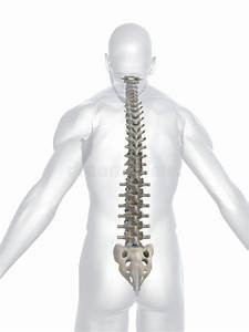 Human Spine Stock Illustration  Illustration Of Hospital