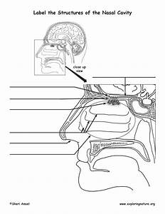 Smell And The Structures Of The Nasal Cavity