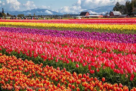 tulips festival in usa skagit valley tulip festival washington usa 美国 华盛顿 skagit flickr