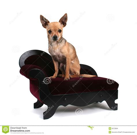 Chihuahua Dog On Couch