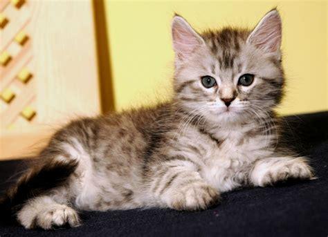 Search For Katz baby katzenbilder katzen rassekatzen sibirische katze