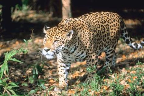 amazing jaguar habitat jaguar footprint size animals me