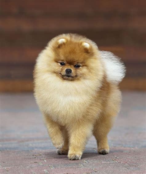 pomeranian amour de spitz pinterest chien mignon