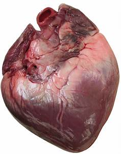 The human heart is a 4-chambered heart; each half of the ...