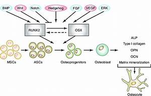 Schematic Of Osteogenic Differentiation Induced By Adipose