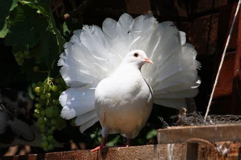 fantail pigeon photo