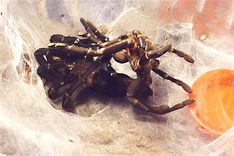tarantula shedding skin time lapse time lapse shows moment tarantula sheds