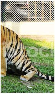 Siberian Tiger (full Body) Stock Photos - FreeImages.com