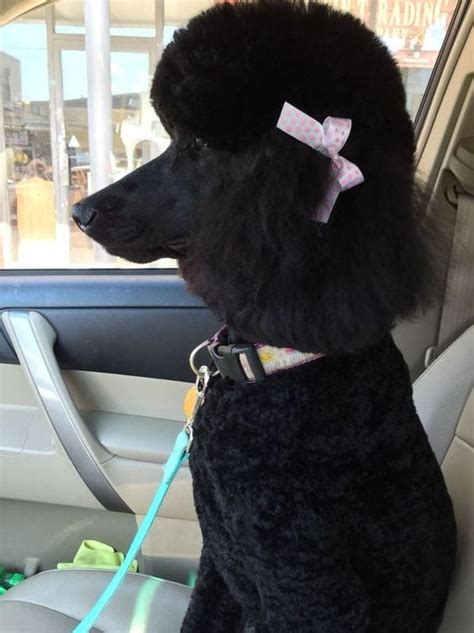 50 Of The Best Poodle Names And Their Meanings Doggie