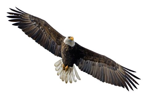 Bald Eagle Clip Eagle Clipart Clipground