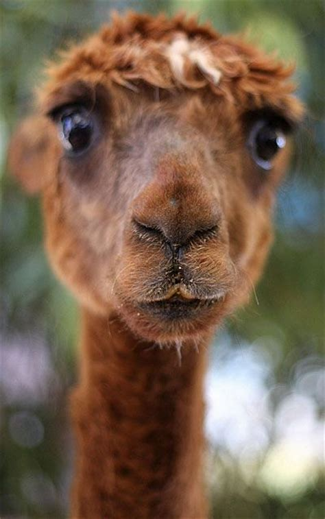 surprised llama luvbat