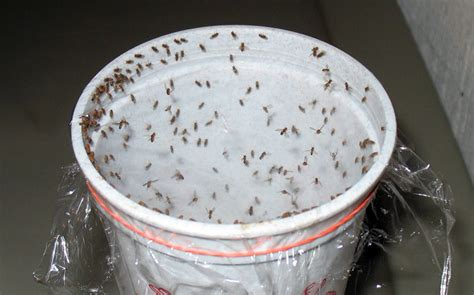 Small Mosquitoes In Bathroom by Here Is How You Can Make These 3 Diy Bug Traps That