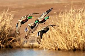Waterfowl Wallpapers - WallpaperSafari