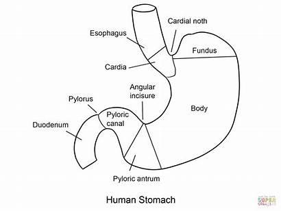 Stomach Coloring Human Estomago Colorear Dibujo Magen