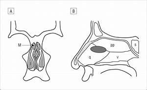 Radiographic And Anatomic Characterization Of The Nasal