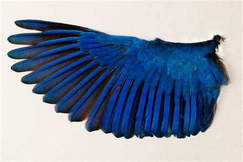 behind the scenes of the world s largest bird wing