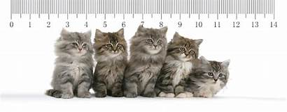 Coon Maine Kittens Ruler