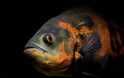 Fish Oscar Wallpapers Desktop Mobile