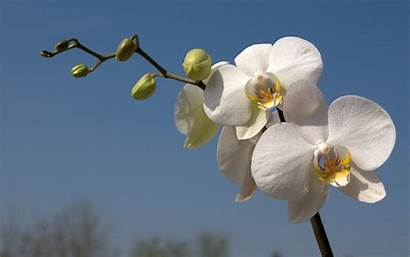 Orchid Orchids Wallpapers Flower Desktop Background Resolution
