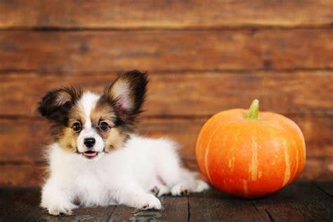 Using Pumpkin For Diarrhea In Dogs by Pumpkin For Treating Dog Diarrhea American Kennel Club