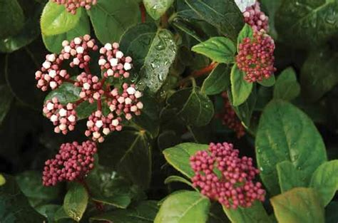 what plants like clay soil top 10 plants for clay soil viburnum garden garage ideas pinte