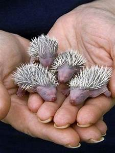 10 cool facts about baby and grown up hedgehogs