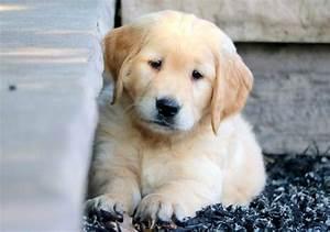 golden retriever puppy for sale keystone puppies