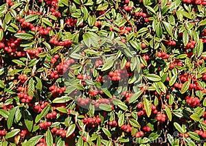 Busch Mit Roten Beeren : rote beeren in einem immergr nen busch stockfoto image 40295816 ~ Markanthonyermac.com Haus und Dekorationen