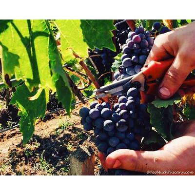 Grape Harvest in Chianti:What's Tuscany Like