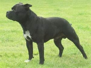 Staffordshire Bull Terrier - SpockTheDog.com
