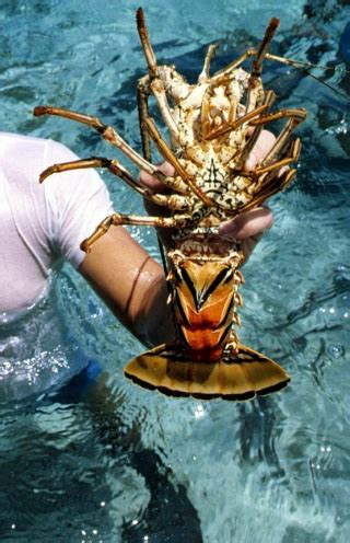 Lobster Boat Limit Florida by Lobster Fishing Where How To Go Florida Lobster