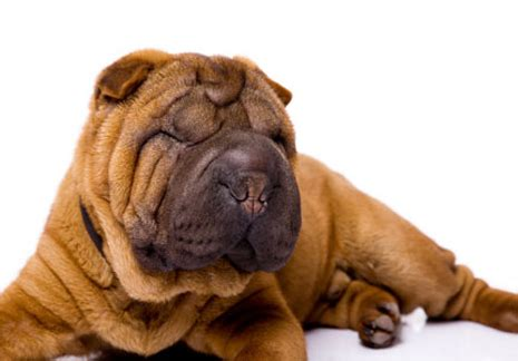 Do Shar Peis Shed A Lot by Pet Advice Ideas Guides 187 Archive 187 Shar