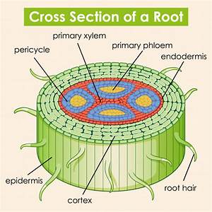 Diagram Showing Cross Section Of A Root
