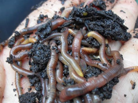 compost worms pile coffee mulch mushroom permaculture
