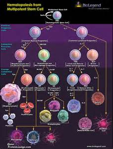 Multipotent Stem Cells