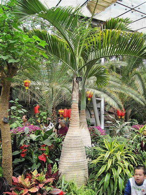 bottle palm hyophorbe lagenicaulis  denver centennial