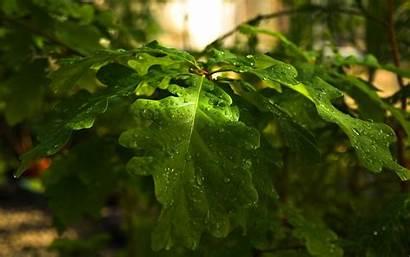 Structure Leaf Widescreen Oak