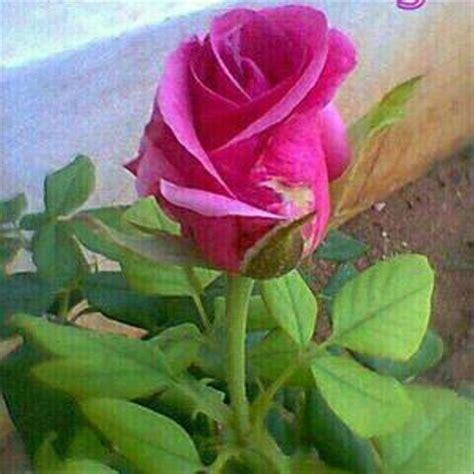 jual tanaman bunga mawar pink lapak erkha florist
