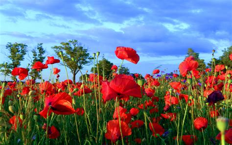 poppy field red flowers wallpaper  desktop