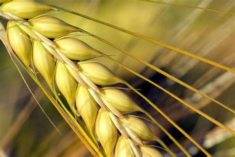 corn field during daytime 183 free