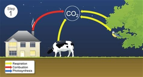 carbon cycle steps  carbon cycle