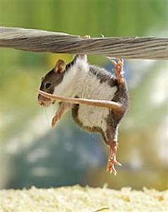 Was Fressen Ratten : haustiere ratten intelligent neugierig verschmust ~ One.caynefoto.club Haus und Dekorationen