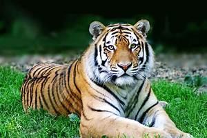 Chinesische Tierkreiszeichen Berechnen : chinesisches sternzeichen tiger tierkreiszeichen astrologie ~ Themetempest.com Abrechnung