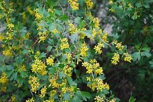 golden currant, Ribes aureum - Traditional - Landscape