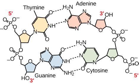 nucleic acids biology for majors i