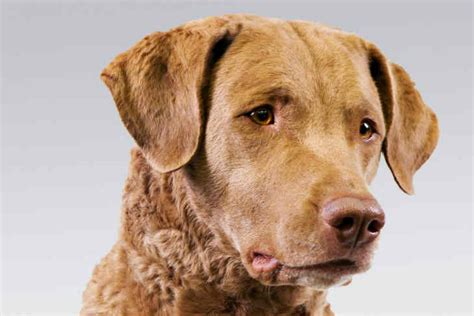 chesapeake bay retriever shed chesapeake bay retriever breed information american