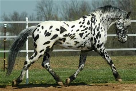 horse colours    knew existed dalmation spots