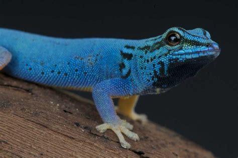 gecko lizard gecko lizard bing images
