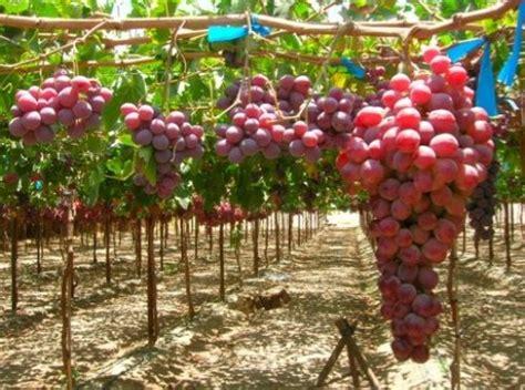 varietà uva da tavola piante uva ilvitigno it