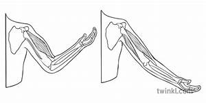 Arm Muscle On Bone With Body Outline Biceps Triceps Pe